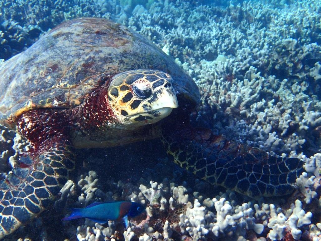 sea turtles on Maui Facts