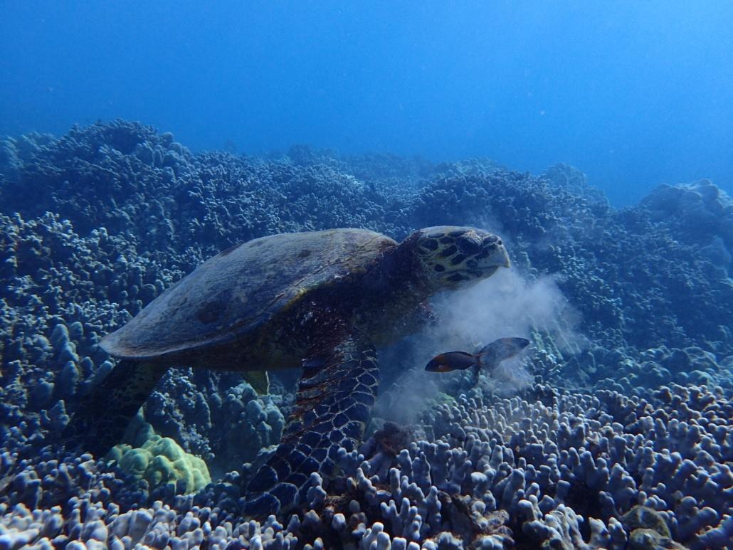 hawksbill sea turtle eating