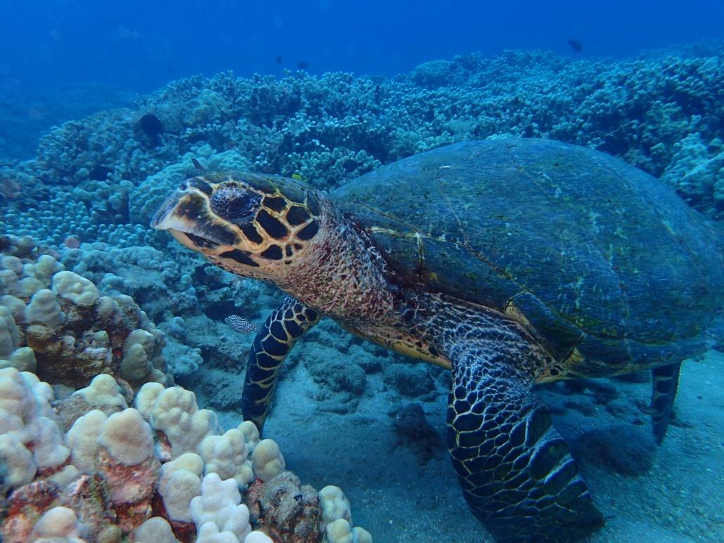 hawksbill sea turtle resting