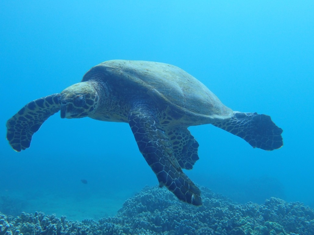 hawksbill sea turtle swimming