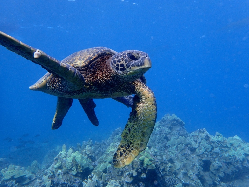 green sea turtle waving