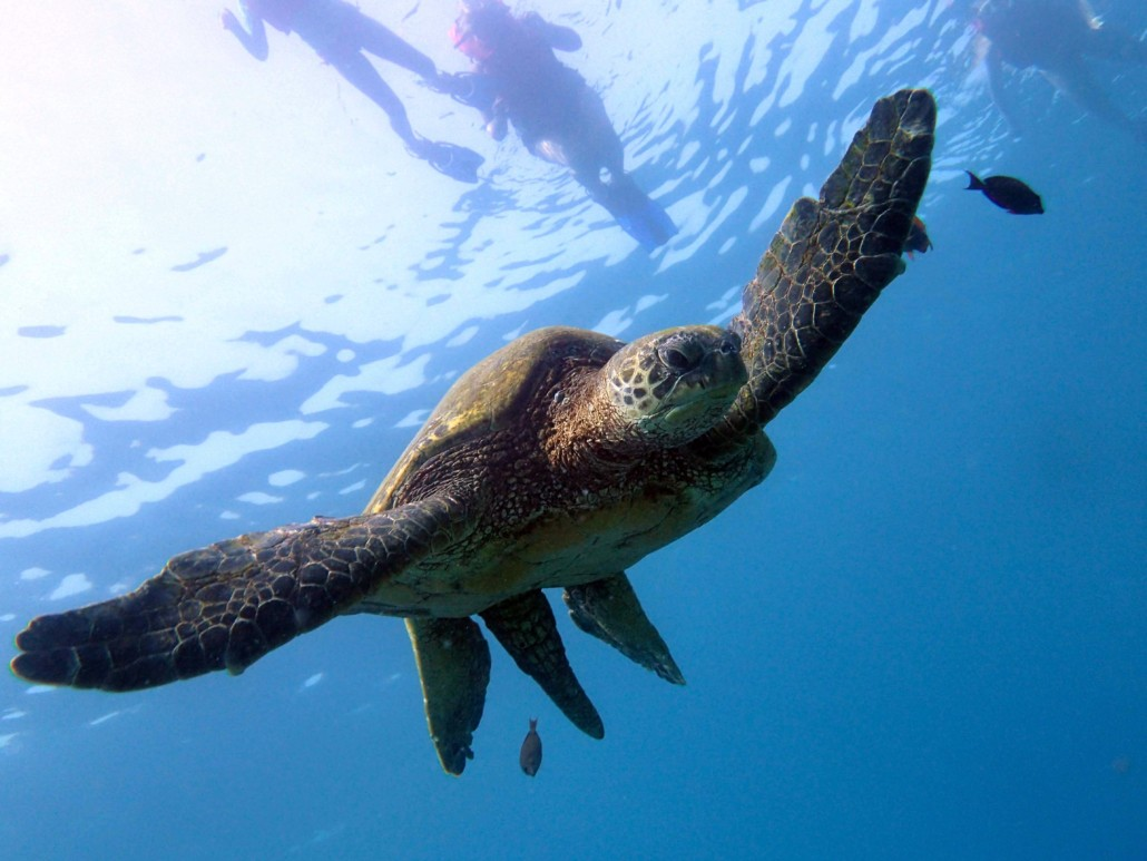 Green Hawaiian Sea Turtle