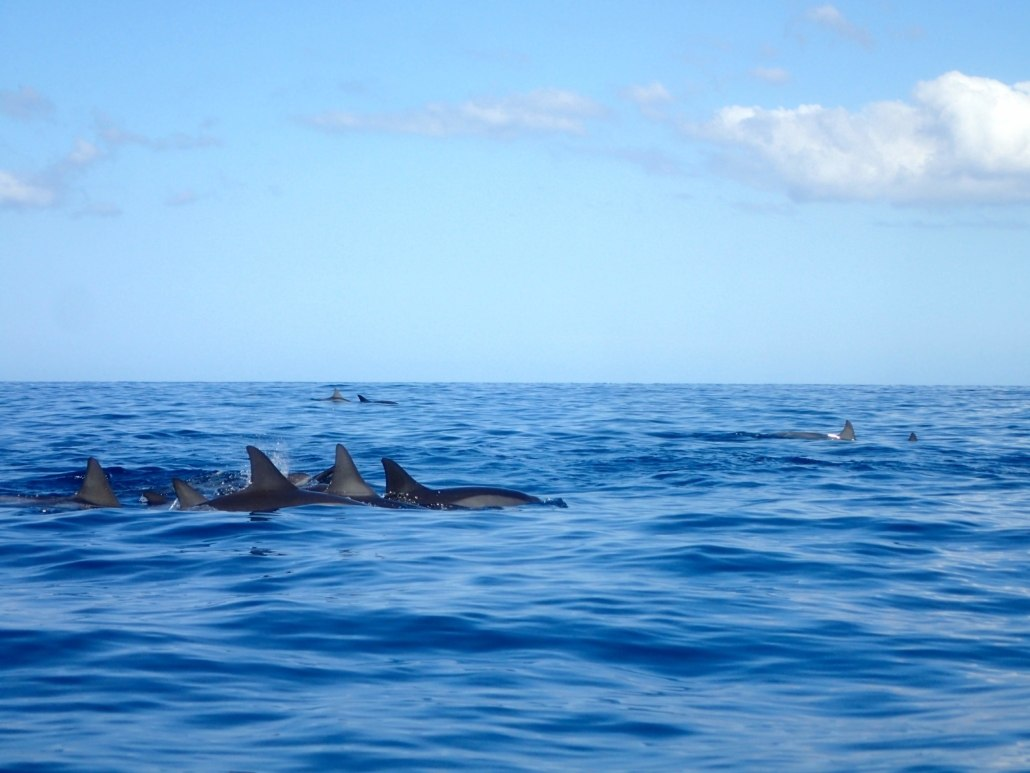 Dolphins Maui Hawaii