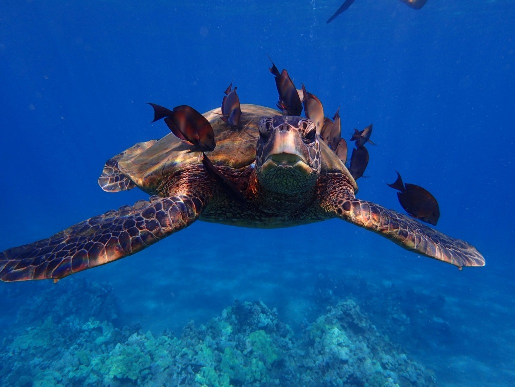 Sea turtle in Maui