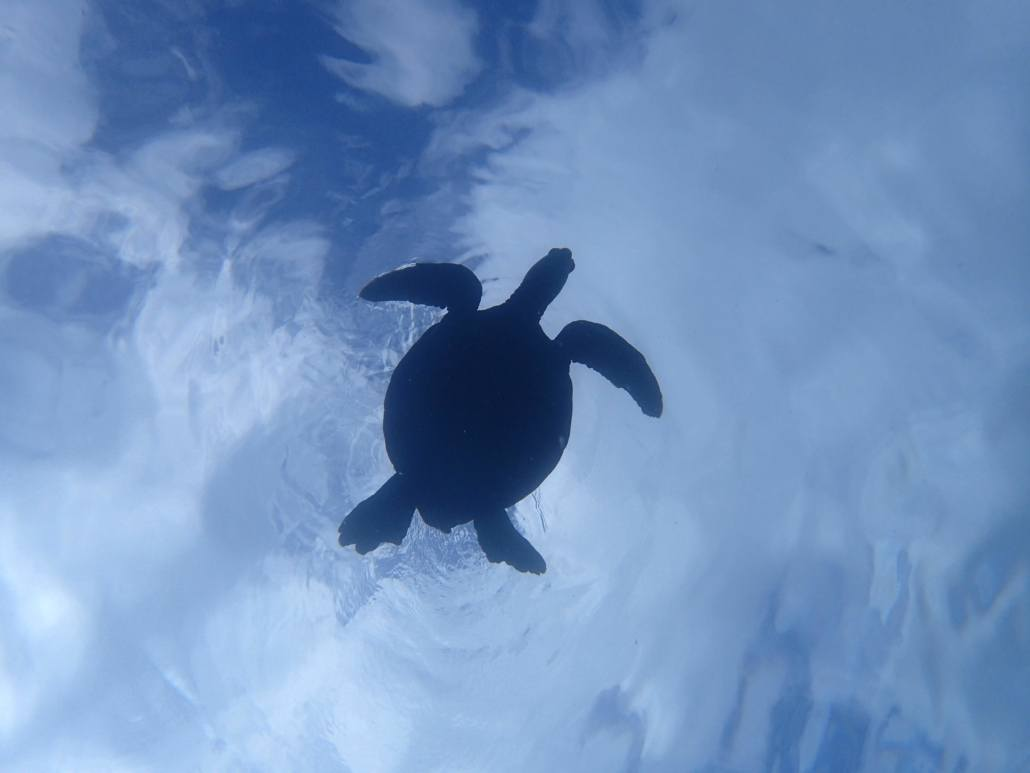 sea turtle silhouette