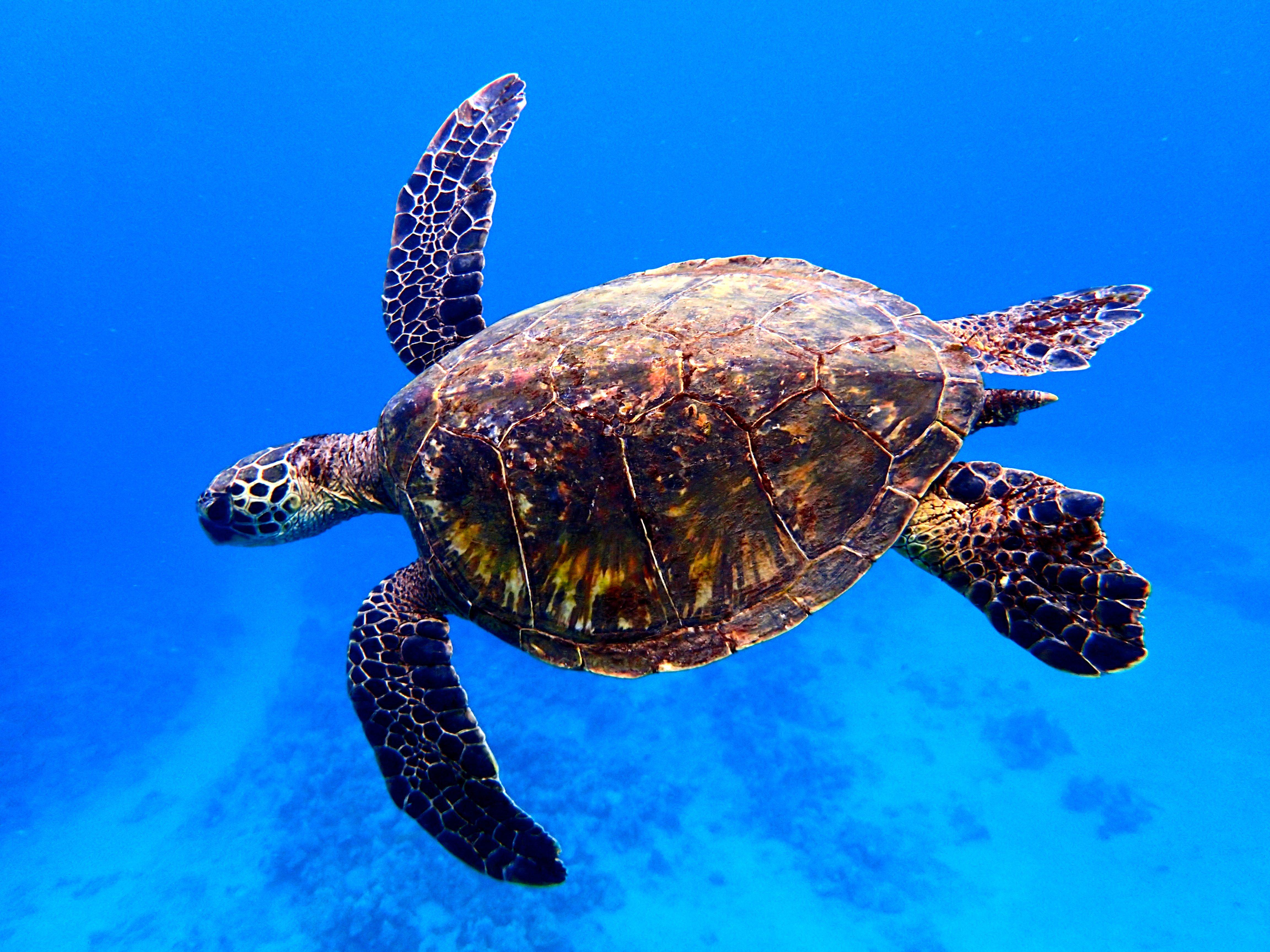 фото плывущая черепаха потому, что такая
