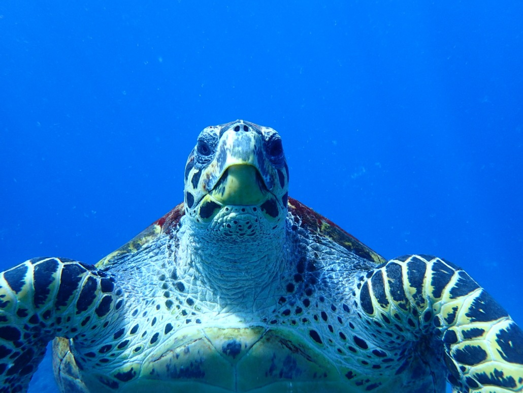 hawksbill sea turtle beak