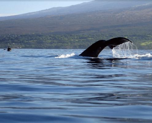 Humpback Whale Maui Tail