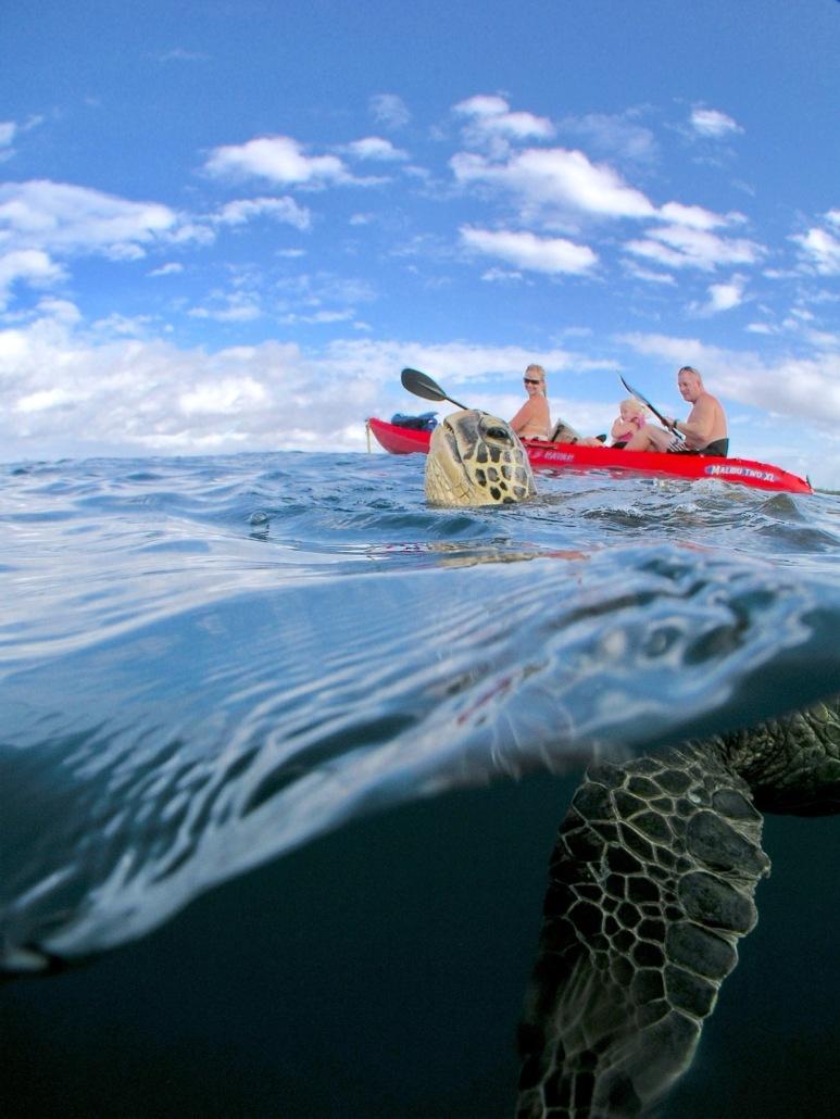 turtle breathing near kayak maui hawaii