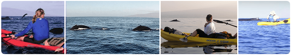 Whale Watching in Maui on a Kayak