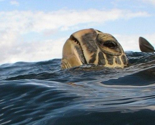 turtle olowalu