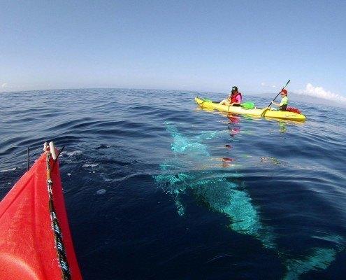 Whale Under Kayak