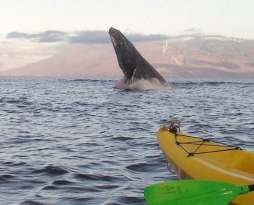 whales on maui